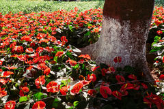 Planta da flor do hibiscus da cor vermelha Imagem de Stock