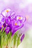 Planta da flor selvagem do açafrão na mola Foto de Stock