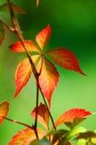 Planta da folha do incêndio fotos de stock royalty free