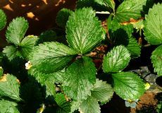 Planta da folha da morango Foto de Stock