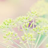Planta da grama no nascer do sol da manhã do verão Imagem de Stock Royalty Free