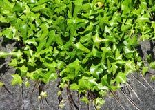 Planta da hera Imagens de Stock Royalty Free