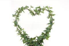 A planta da hera com forma de um coração com branco isolou o fundo Foto de Stock