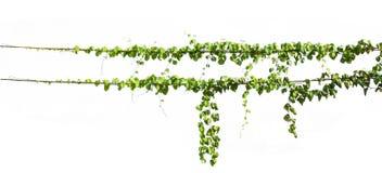 planta da hera que pendura no isolado elétrico do fio branco imagem de stock