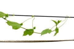 A planta da hera sae com um fruto cru que agarra ao longo do fio da eletricidade imagens de stock royalty free