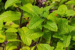 Planta da hortelã Fotos de Stock Royalty Free