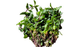 Planta da hortelã Fotografia de Stock Royalty Free