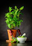 Planta da hortelã com o pilão e o almofariz que crescem no potenciômetro fotografia de stock