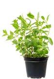Planta da hortelã fresca em um potenciômetro de flor Imagens de Stock Royalty Free