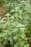 Planta da hortelã que cresce no jardim Fotografia de Stock Royalty Free