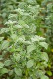 Planta da hortelã que cresce no jardim Imagens de Stock Royalty Free