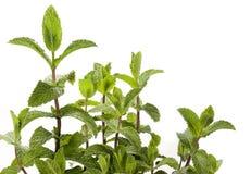 Planta da hortelã - spearmint Imagem de Stock Royalty Free