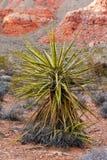 Planta da mandioca com montanha vermelha como um fundo Foto de Stock Royalty Free