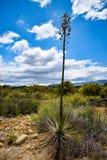 Planta da mandioca dentro entre arbustos secos, com um céu azul nebuloso fotos de stock