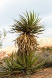 Planta da mandioca no deserto Fotos de Stock