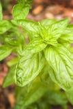Planta da manjericão Imagens de Stock Royalty Free
