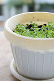 Planta da manjericão do bebê Foto de Stock Royalty Free