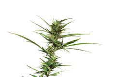 Planta da marijuana isolada Foto de Stock Royalty Free