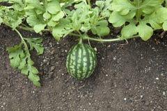 Planta da melancia Foto de Stock Royalty Free