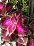 planta da melancia do versa do coleus Imagem de Stock