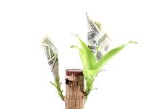 Planta da moeda com dólares crescentes Fotografia de Stock Royalty Free