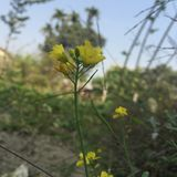 Planta da mostarda foto de stock