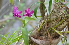 Planta da orquídea Foto de Stock Royalty Free