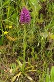 Planta da orquídea selvagem e flores híbridas - simorrensis de Anacamptis x Imagem de Stock Royalty Free