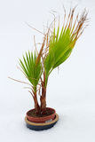 Planta da palmeira na neve Foto de Stock Royalty Free