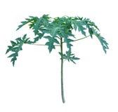 Planta da papaia Fotos de Stock Royalty Free