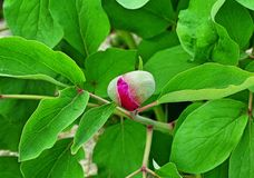 Planta da peônia Foto de Stock