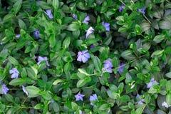 Planta da pervinca com folhas verdes imagens de stock