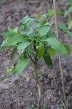 Planta da pimenta Fotos de Stock Royalty Free