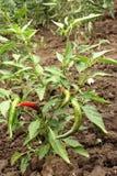 Planta da pimenta de pimentão Fotos de Stock