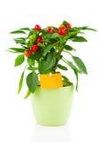 Planta da pimenta de pimentão encarnado, Fotografia de Stock