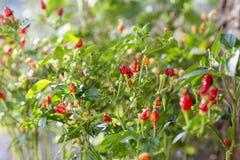 Planta da pimenta de piment?o que cresce no jardim Pimentos vermelhos, alaranjados e amarelos fotografia de stock