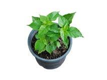 Planta da pimenta de pimentão que cresce no potenciômetro Fotos de Stock