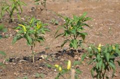 Planta da pimenta de pimentão quente Fotos de Stock Royalty Free