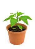 Planta da pimenta de pimentões Foto de Stock