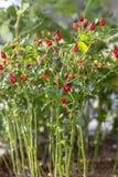 Planta da pimenta de piment?o que cresce no jardim Pimentos vermelhos, alaranjados e amarelos imagens de stock