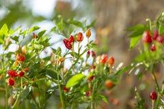 Planta da pimenta de piment?o que cresce no jardim Pimentos vermelhos, alaranjados e amarelos fotos de stock royalty free