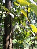 Planta da pimenta preta na árvore da areca Foto de Stock Royalty Free