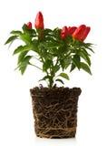 Planta da pimenta vermelha Imagem de Stock Royalty Free
