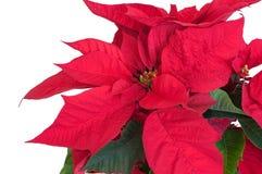 Planta da poinsétia Imagem de Stock Royalty Free