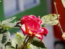 Planta da rosa do vermelho na luz do sol da manhã Foto de Stock Royalty Free