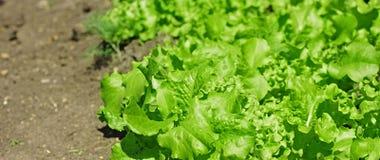 Planta da salada imagens de stock royalty free