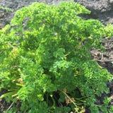 Planta da salsa Imagem de Stock Royalty Free