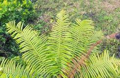 Planta da samambaia Fotos de Stock Royalty Free