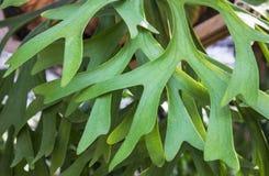 Planta da samambaia Imagens de Stock