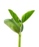 Planta da soja imagens de stock royalty free